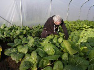 harvesting-pakchoi-camelcsa-061120