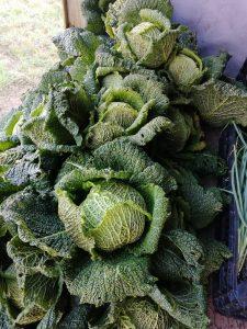 savoy-cabbage-camelcsa-050221
