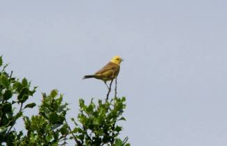 Yellowhammer at Rosenannon Downs, 9-8-13, C Selway