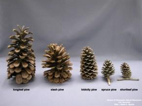 pine-cones-from-mr-lsu-edu