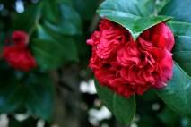 camellia 5 jeremy