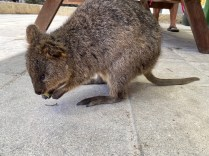 Quokka in the picnic area