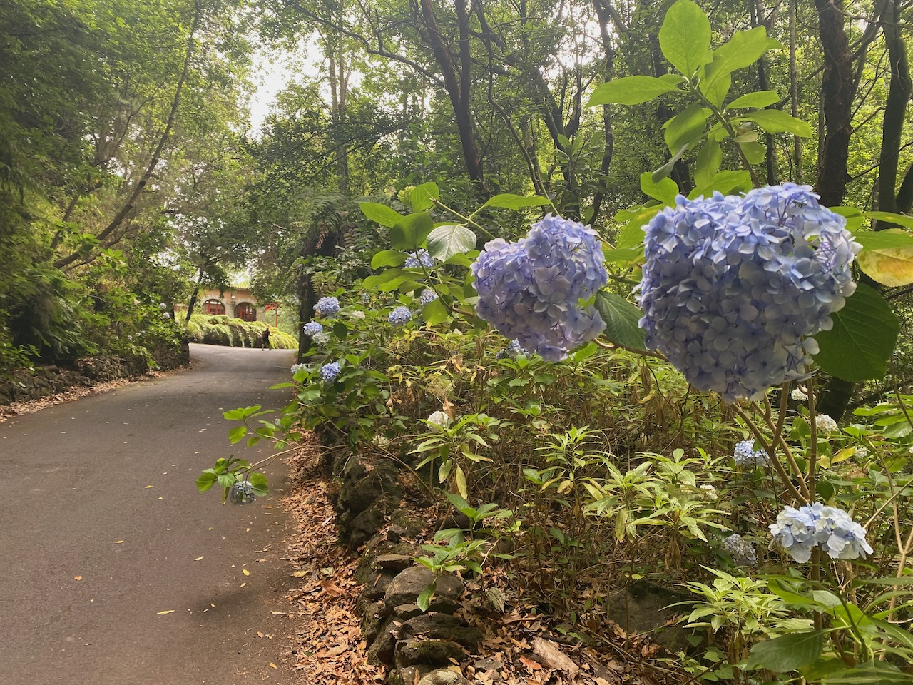 Beautiful hydrangea / hortensia that are growing wild in this area