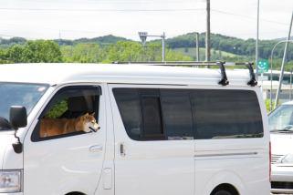 柴犬かわいい^^