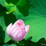 上野不忍池 蓮の花