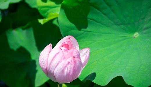 【ニコンD5300】不忍池でハスの花を撮影してみました