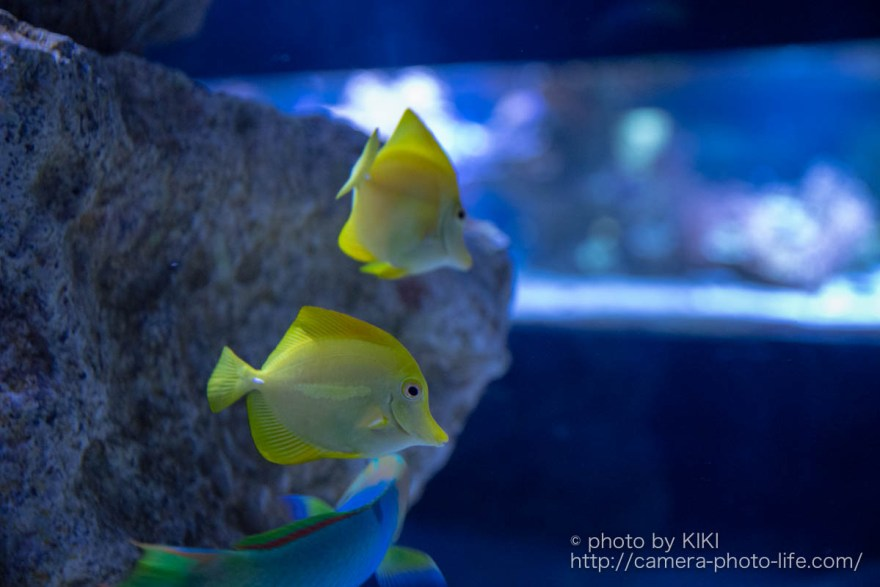 珊瑚礁に住むサカナ