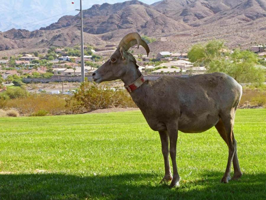 Big Horn Sheep ewe with collar