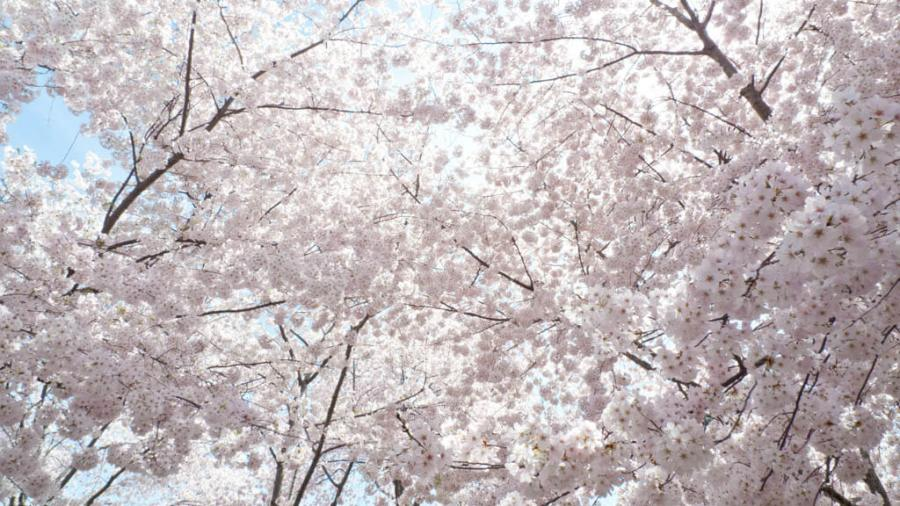 Cherry Blossoms canopy