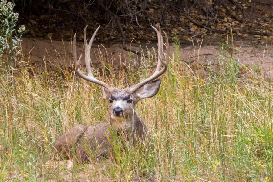 mule deer buck eating grass in zion