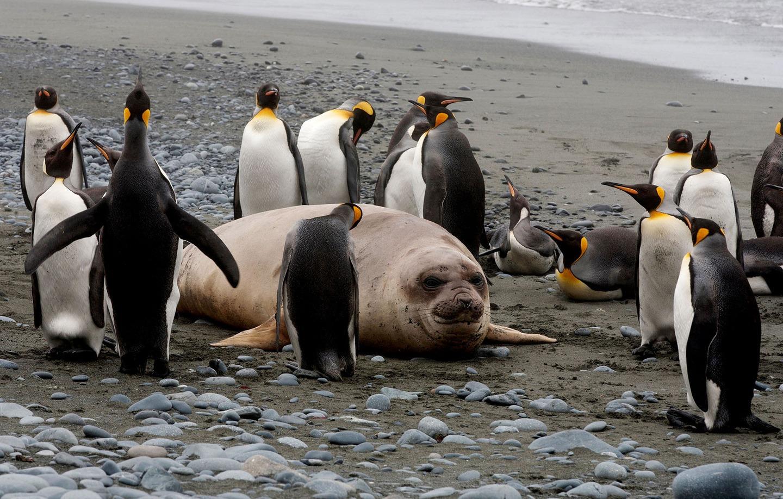 Маккуори – крошечный зелёный остров, где правят пингвины - 10