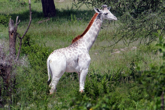 В Танзании замечен жираф с редчайшим окрасом