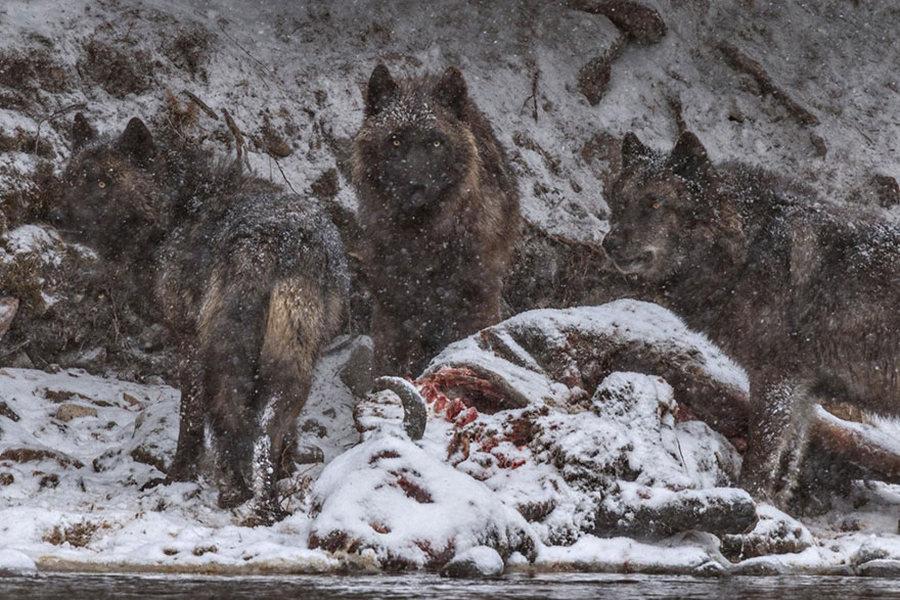 Йеллоустоун голд живсэн бизоны сэг дээр цугларсан чонын сүрэг /Гэрэл зургийг Ронан Донован/
