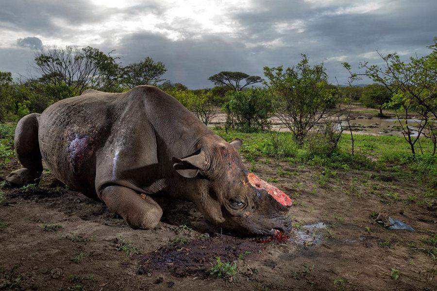 Өмнөд Африкийн Хлухлюве Умфолозийн цэцэрлэгт хүрээлэнд хулгайн анчдын агнасан хар хирс /Гэрэл зургийг Брент Стиртон/  /