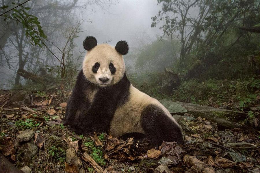Хятадын Волонг байгалийн дархан газарт амьдардаг 16 настай аварга том панда /Гэрэл зургийг Ами Витале/