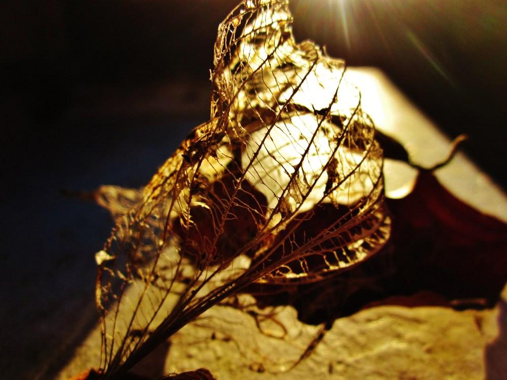 Leaf Skeletons At Sunset (1/4)