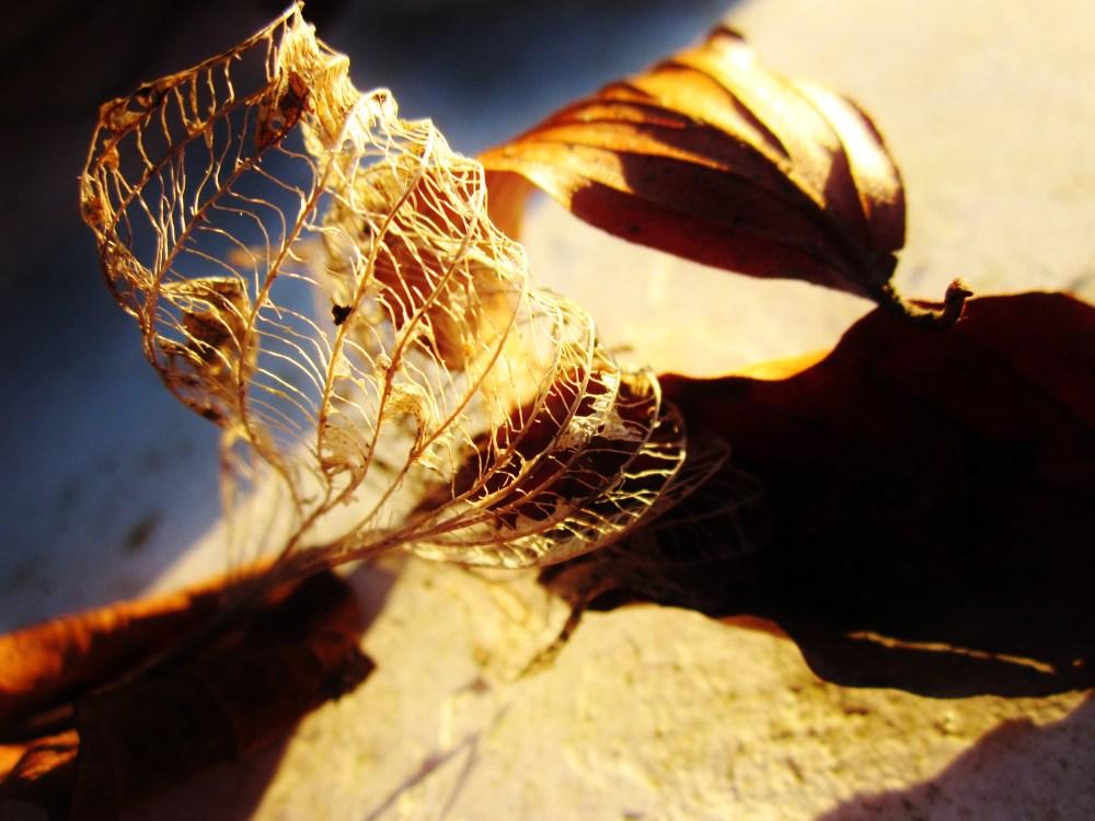 Leaf Skeletons At Sunset (3/4)