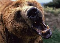 Growling grizzley bear, photography by Lorelle VanFossen