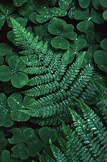 Ferns, photograph by Brent VanFossen