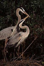Heron making a nest, Florida, photograph by Brent VanFossen