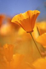 California poppies, photograph by Brent VanFossen