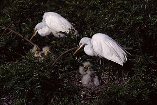 Egrets on nest with chicks, Florida, Photograph by Brent VanFossen