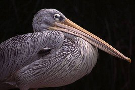White Pelican, photograph by Brent VanFossen