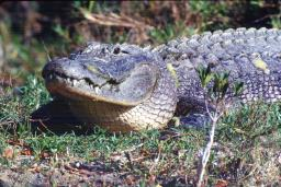 Alligator, photo by Brent VanFossen