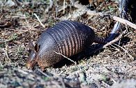 Armadillo, photo by Brent VanFossen