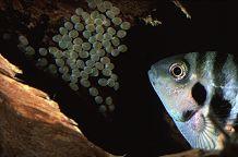 Convict Cichlid lays eggs in our aquairum, photograph by Brent VanFossen