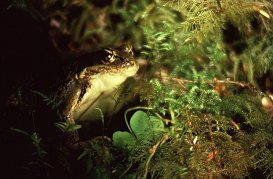 Red-legged frog in moss, Olympic National Park, photo by Brent VanFossen
