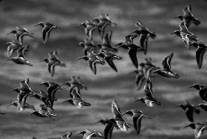Birds take off from a pond at Bosque del Apache, NM