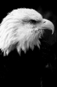 Closeup of the head of a wild bald eagle