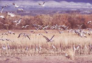 Birds fly at Bosque del Apache, New Mexico, photograph by Brent VanFossen