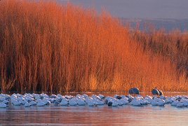 Horizontal images lend themselves to a landscape perspective. Snowgeese at Bosque del Apache, photo by Brent VanFossen