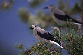 Clarks Nutcracker - the bird behind is compressed to appear closer than it actually was, photograph by Brent VanFossen