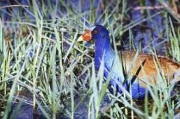 Purple Gallinule by Brent VanFossen