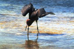 The Reddish Egret splashes around for dinner, photo by Brent VanFossen