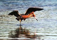 Reddish Egret searches for food along the waters edge, photograph by Brent VanFossen