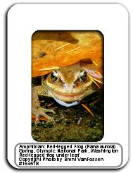 Photograph of a red legged frog in a slide frame.  Photo by Brent VanFossen