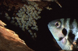 Convict cichlid protecting her eggs, photograph by Brent VanFossen