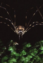 Close up of the face of a daddy long legs spider, Photograph by Brent VanFossen