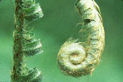 Fiddlehead fern, photograph by Brent VanFossen