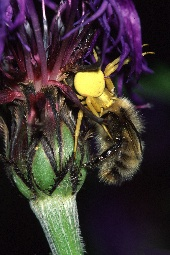 Looking under flowers we found this yellow crab spider attacking a bee, photograph by Brent VanFossen