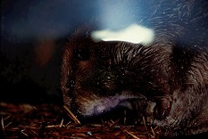 The flash against the glass of a zoo beaver den hides the beaver. Photo by Lorelle VanFossen