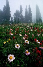 Even with the fog in the background, the alpine meadow flowers are in focus from close to the camera lens into the distance, photograph by Brent VanFossen