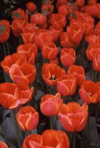 Red Tulip Field, Skagit Valley Tulip Festival, Washington State. Photo by Brent VanFossen
