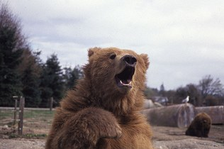 Grizzly bear waves against a background of large tanks and clutter in its enclosure, photograph by Lorelle VanFossen