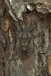 Beetle camouflaged against tree bark, photograph by Brent VanFossen