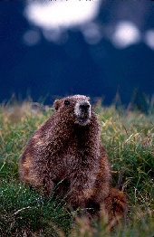 200mm lens and marmot